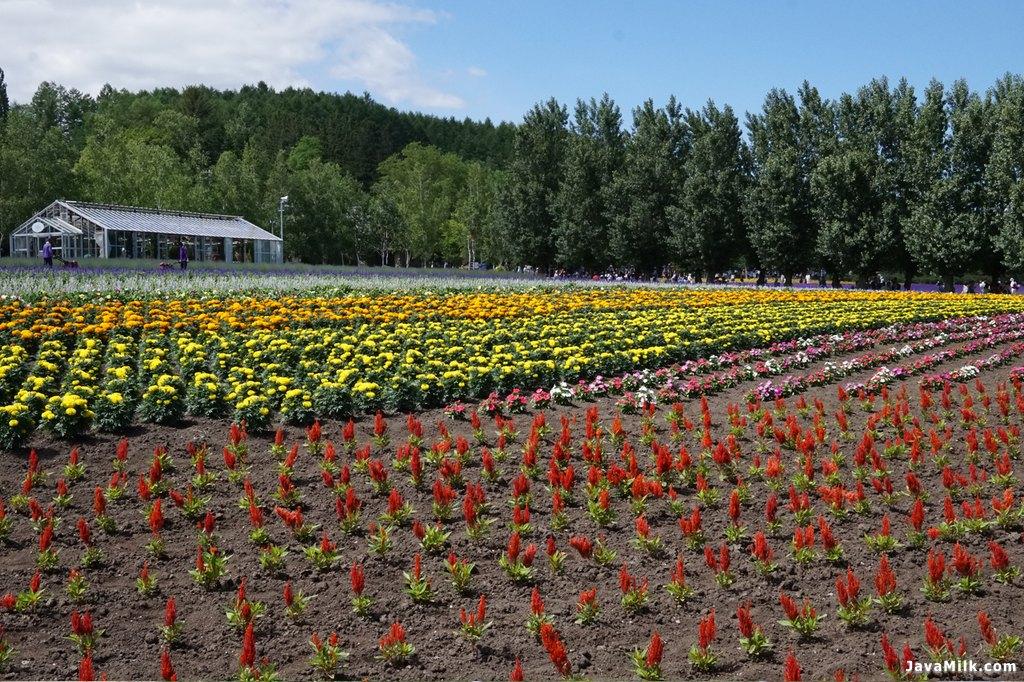Bunga lagi nunggu giliran mekar di Tomita Farm
